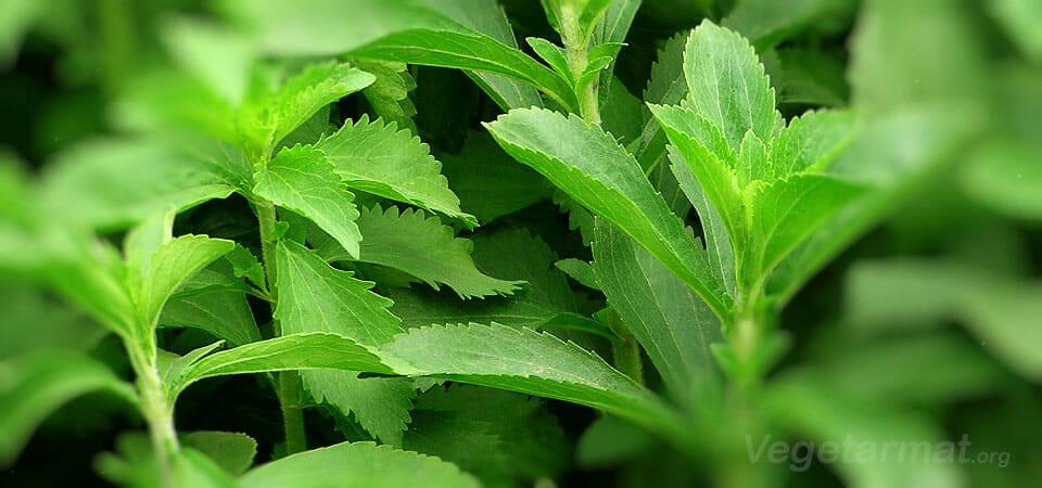 Er Stevia virkelig det «sunne» sukkeret?